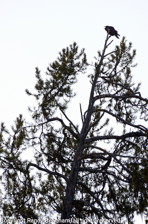A common raven calls from a leaning Lodgepole pine in late fall. Yaak Valley in the Purcell Mountains, northwest Montana.