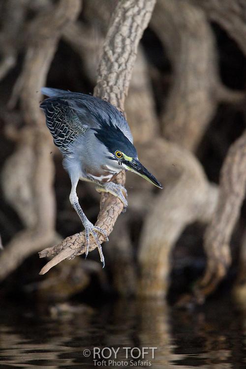Striated Heron (Butorides striata), Pantanal, Brazil