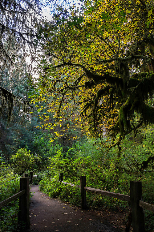A pathway winding through the Hoh Rainforest in Washington's Olympic National Park as the trees surround you.