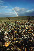 Field of pineapples, Molokai, Hawaii. USA.