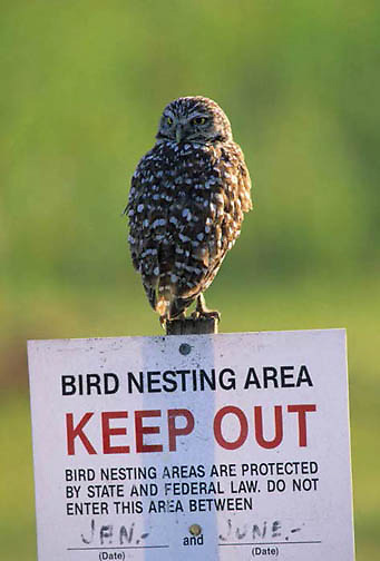 Burrowing Owl, (Athene cunicularia) Adult perched on KEEP OUT sign at nesting site in city. Florida.