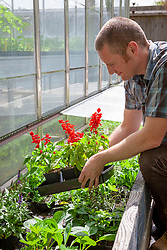 Putting tender plants - salvias - into a coldframe to harden off