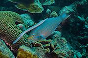 Queen Parrotfish (Scarus vetula) & Trumpetfish (Aulostomus maculatus)<br /> BONAIRE, Netherlands Antilles, Caribbean<br /> HABITAT & DISTRIBUTION: Reefs<br /> Florida, Bahamas, Caribbean & Bermuda