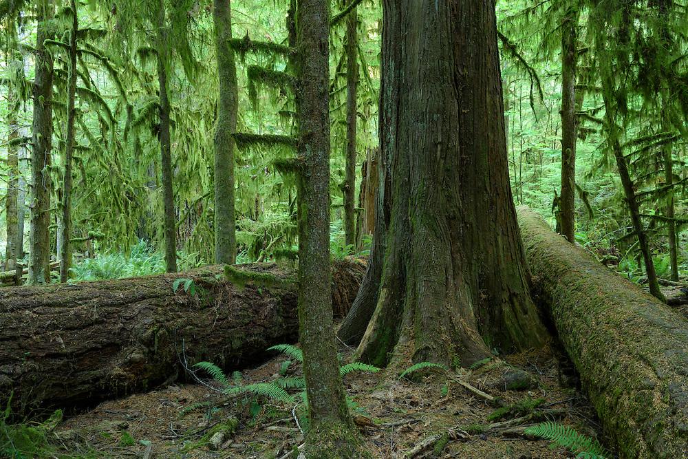 Canada, British Columbia Vancouver Island, Port Alberni, Cathedral Grove, Provincal Park, rain forest