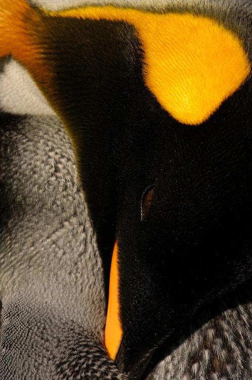 Pete OXFORD, King Penguin, ART IN NATURE,<br /> Julio Zaldumbide 506 y Toledo, Quito, Ecuador, South America.<br /> Tel: 593-2-2226958      Mail: pete@peteoxford.com<br /> <br /> King Penguin (Aptenodytes p. patagonica).<br /> Saunders Island. FALKLAND ISLANDS.