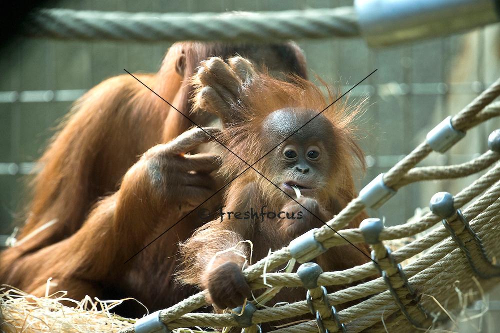 28.Sep.2012; Zurich; Inland - Zoo Zuerich; <br /> Orang Utang Junges (Andy Mueller/freshfocus)