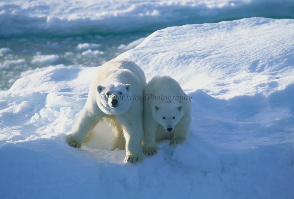 Polar Bear Mother & Cub<br />Ursus maritimus<br />Chuckchi Sea<br />RUSSIAN FAR EAST