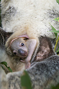 Koala <br /> Phascolarctos cinereus<br /> Five-month-old joey in pouch<br /> Queensland, Australia<br /> *Captive