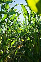 Rows of corn plants in field.