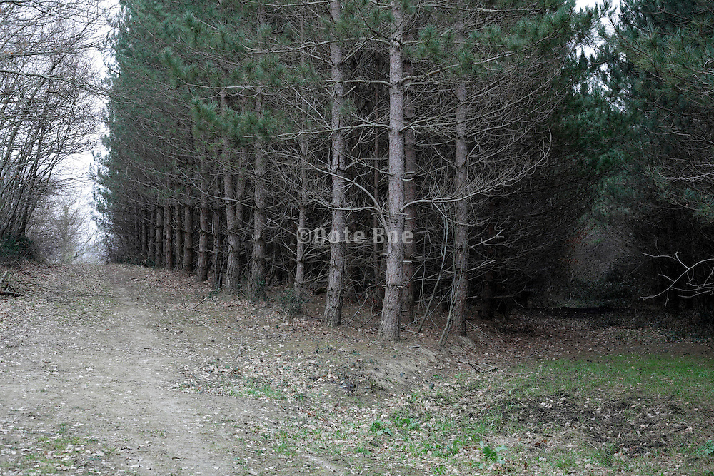path along and through a pine tree forest