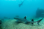 White-tipped Reef Shark (Triaenodon obesus)<br /> Bartolome Island,  Galapagos <br /> Ecuador, South America<br /> RANGE: Common in the entire archipelago. North to Costa Rico including offshore islands, also tropical and subtropical Indo-Pacific.