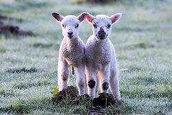 © Licensed to London News Pictures. 19/04/2016. Leeds UK. Two lambs stand in a frost covered field in Leeds at first light this morning.  Photo credit: Andrew McCaren/LNP