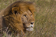 Male lion resting by a waterhole, Serengeti National Park, Tanzania.