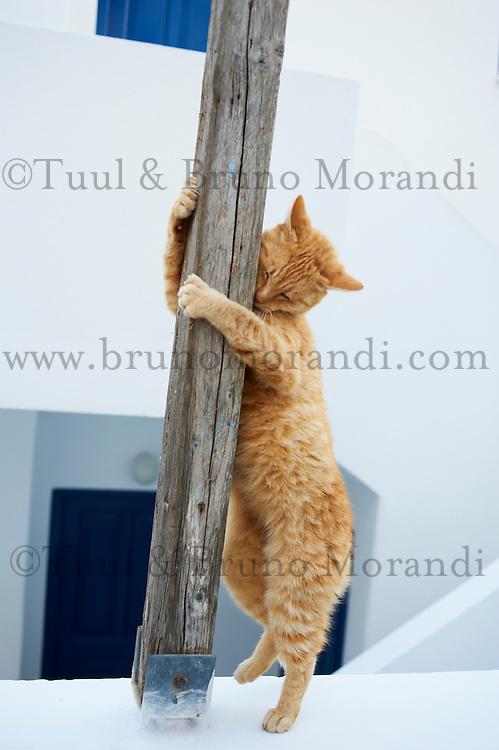 Grece, Cyclades, Santorin, chat dans les rues de Oia // Greece, Cyclades, Santorini, cat on the Oia street