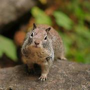 Curious Squirrel - Vernal Falls Trail - Yosemite
