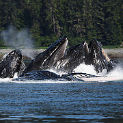 Humpback whales (Megaptera novaeangliae) bubble-net feeding in Chatham Strait, Alaska on a sunny day with lush greenery in the background.