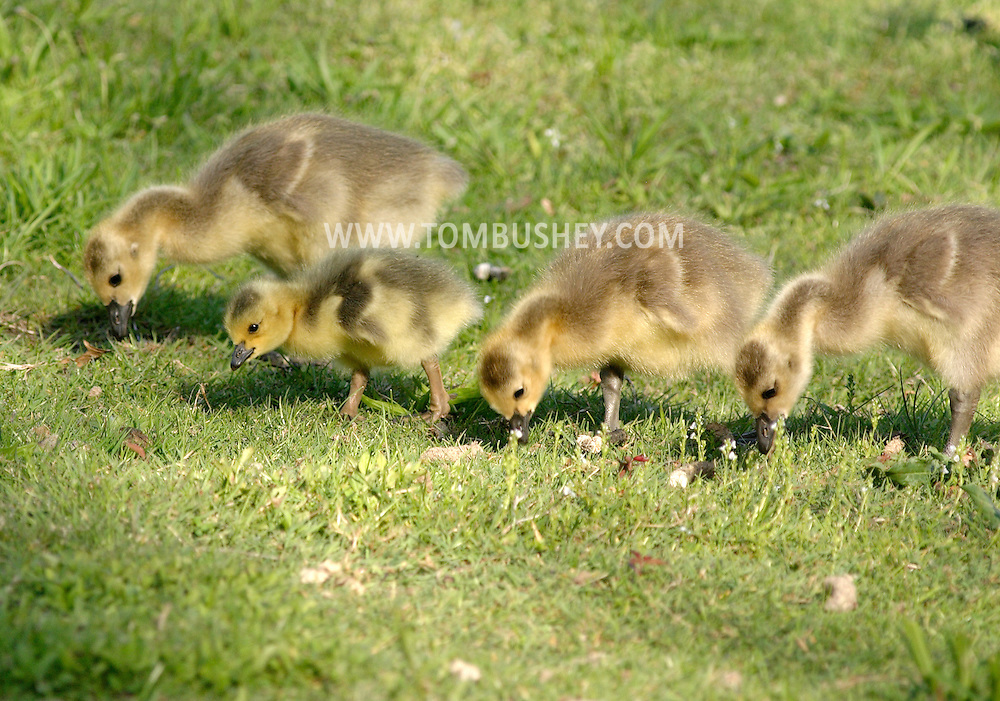 Middletown, N.Y. - Four goslings look for food in the grass at Fancher-Davidge Park on May 4, 2006. ©Tom Bushey