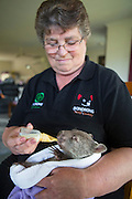 Common Wombat <br /> Vombatus ursinus<br /> Linda Tabone, Foster Mother, bottle-feeding six-month-old orphaned joey (mother was hit by car) <br /> Bonorong Wildlife Sanctuary, Tasmania, Australia<br /> *Captive- rescued and in rehabilitation program
