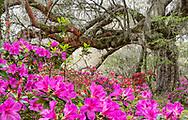 Landscape of pink azaleas and live oak in fog at Magnolia Plantations, Charleston, SC