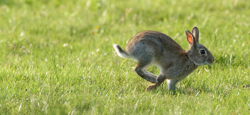 Young rabbit running, Islay, Scotland