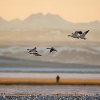 a bird watcher watching snow geese landing in a farm field in montana