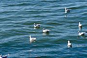 Möven auf dem Wasser, Bodensee, Baden-Württemberg, Deutschland