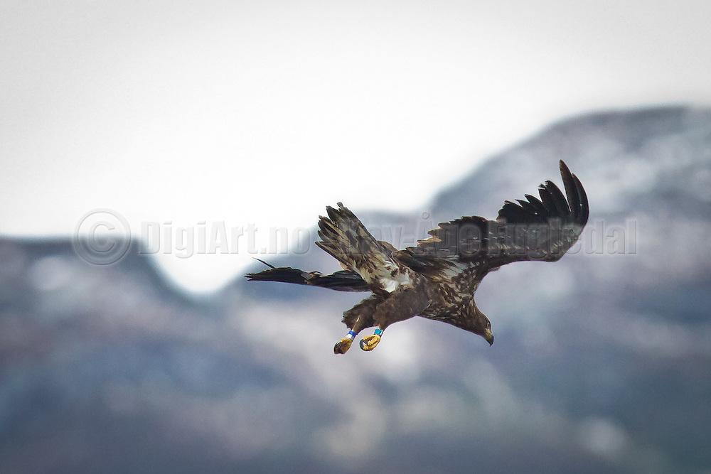 Havørn som sirkler over Fosnavåg på let etter mat | White-taled Eagle circles above Fosnavåg scouting for food.
