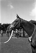 08/08/1962<br /> 08/08/1962<br /> 08 August 1962<br /> Dublin Horse Show at the RDS, Ballsbridge, Wednesday. <br /> Picture shows&quot;Arch Point&quot;, two year old gelding owned by Her Majesty Queen Elizabeth The Queen Mother, winner of the Laidlaw Cup (for Best Young Horse likely to make a hunter) at the Dublin Horse Show.