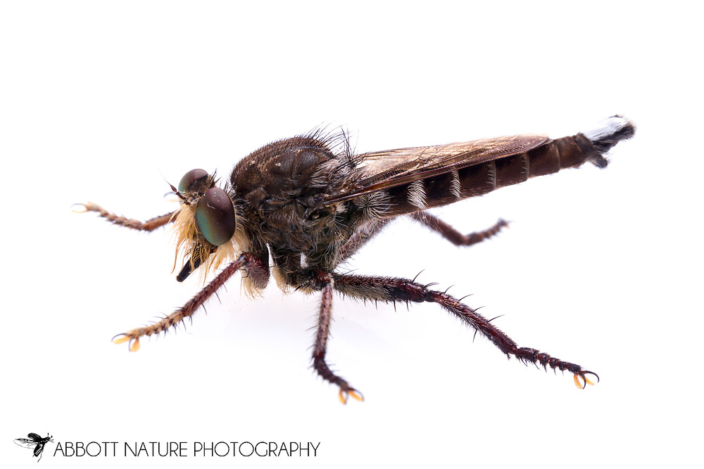 Robber Fly (Promachus bastardii)<br /> TEXAS: Jasper Co.<br /> Brookeland/Lake Sam Rayburn KOA @ 505 Co Rd 212<br /> 9.June.2015<br /> J.C. Abbott #2739 &amp; K.K. Abbott
