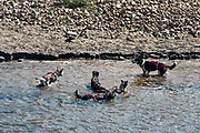 Dogs go for a refreshing swim after a training session, Susan Butcher's Trailbreaker Kennels, Fairbanks, Alaska