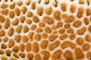 Close up macro of hard coral terrain, Palau Micronesia. (Photo by Matt Considine - Images of Asia Collection)