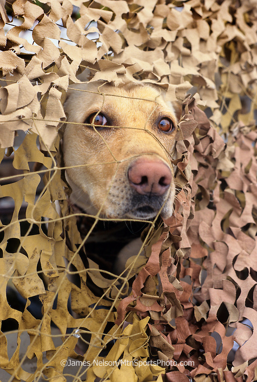34-378. Yellow Labrador retriever looking out of a duck blind.