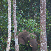 Endangered wild Asian or Asiatic (Elephas maximus) Elephant in Khao Yai National Park, Thailand.