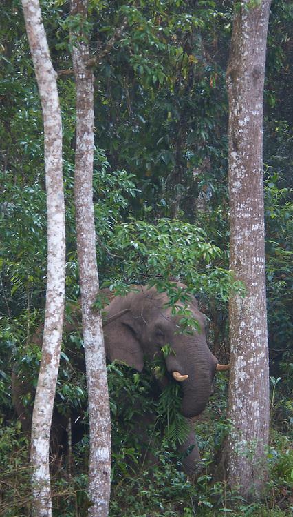 Endangered wild Asian or Asiatic (Elephas maximus) Elephant in Khao Yai National Park, Thailand.