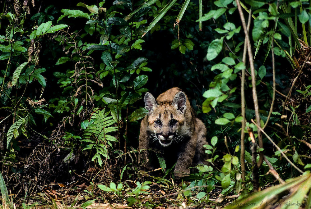 Florida Panther [Felis concolor] cub, hunting; Everglades Wildlife Sanctuary, Florida