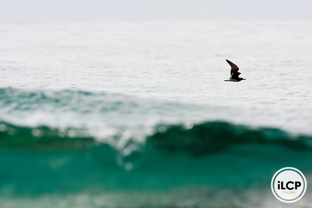 Sooty Gull (Larus hemprichii) flying over ocean, Hawf Protected Area, Yemen