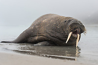 The young Walrus was clearly trying to communicate as he wal rolling around in the shallow water infront of me. From the west coast of Svalbard.