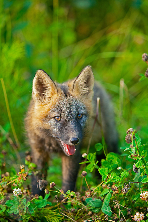 A baby fox emerges from the brush along the Nancy Lake Parkway in South-Central Alaska.