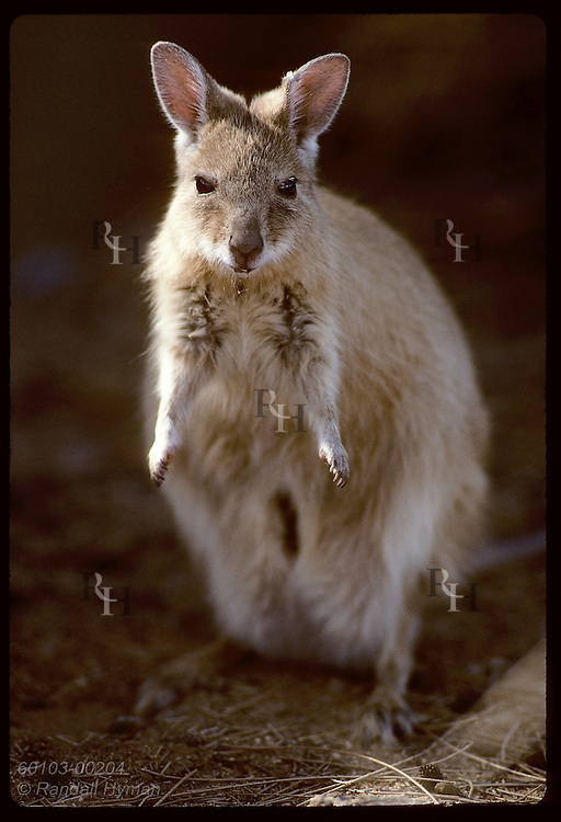 Endangered female mala, or rufous hare-wallaby, stands in morning sun; Conservatn Comm of NT/Alice Australia