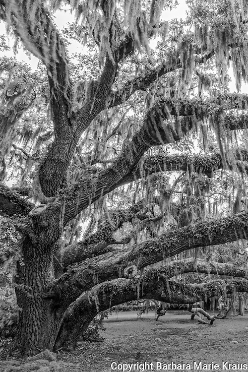 Ancient live oak tree called the Plantation Oak located in the historic district of Jekyll Island adjacent to the Jekyll Island Club Resort.