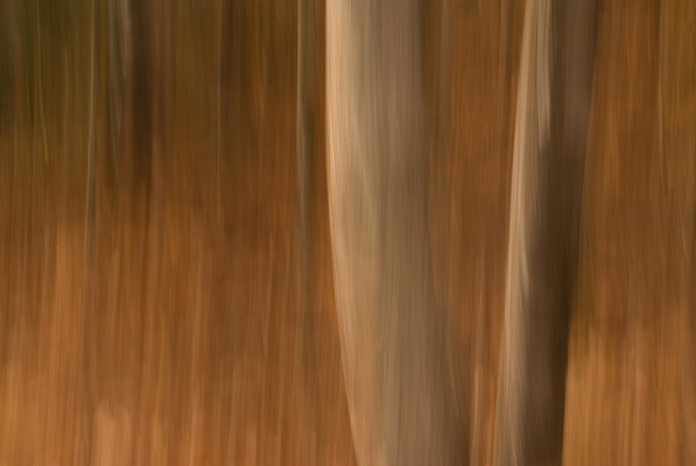 Photograph of trees in fall colors taken in the Adirondacks using panning motion with camera and slow shutter speed to render image as painterly or impressionistic.
