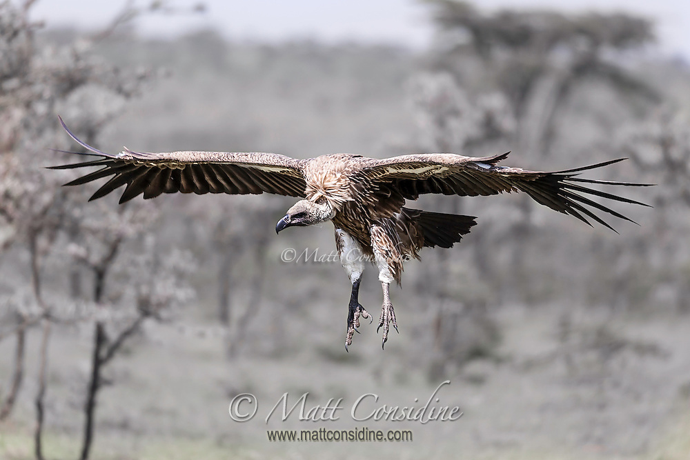 Vulture gliding in to land on the savannah with outspread wings in the Masai Mara National Reserve, Kenya, Africa (photo by Wildlife Photographer Matt Considine)
