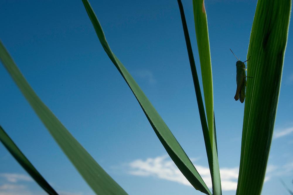 Meadow grasshopper {Chorthippus parallelus} in Moldova near adurea Domnesca National Park