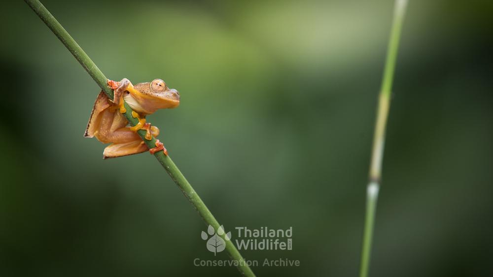 Red-Webbed Tree Frog (Rhacophorus rhodopus) male in Kaeng Krachan national park, Thailand