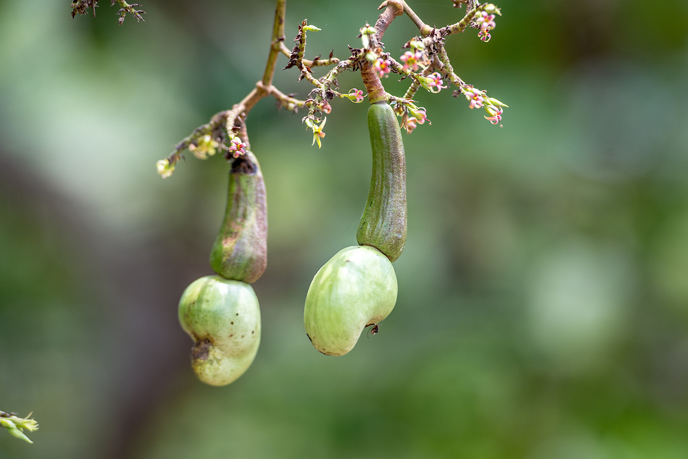 Cashew fruit seed (Anacardium occidentale) grows on a farm in Ganta, Liberia