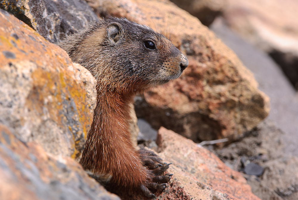 Yellow-bellied Marmot (Marmota flaviventris), Yellowstone National Park, Wyoming