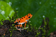 "A brilliant orange with black spots Strawberry Poison Dart Frog (Oophaga pumilio ""Bastimentos""), Bastimentos Island, Panama"