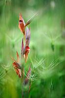 Bergons Serapias (Serapias bergonii),  Pollino National Park, Italy; WWoE Mission