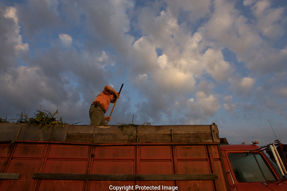 Charles Fry atop a truck full of beans. He uses a small rake to even them out in the truck before they are taken to the processor...Edamame harvest at the Fry Farm in Tiffin, Ohio.Charles C Fry.American Sweet Bean Company