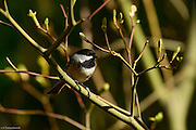 Black-capped Chickadee sits among new leaves.